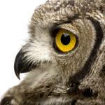 An owl elemental for Aquarius ascendant.